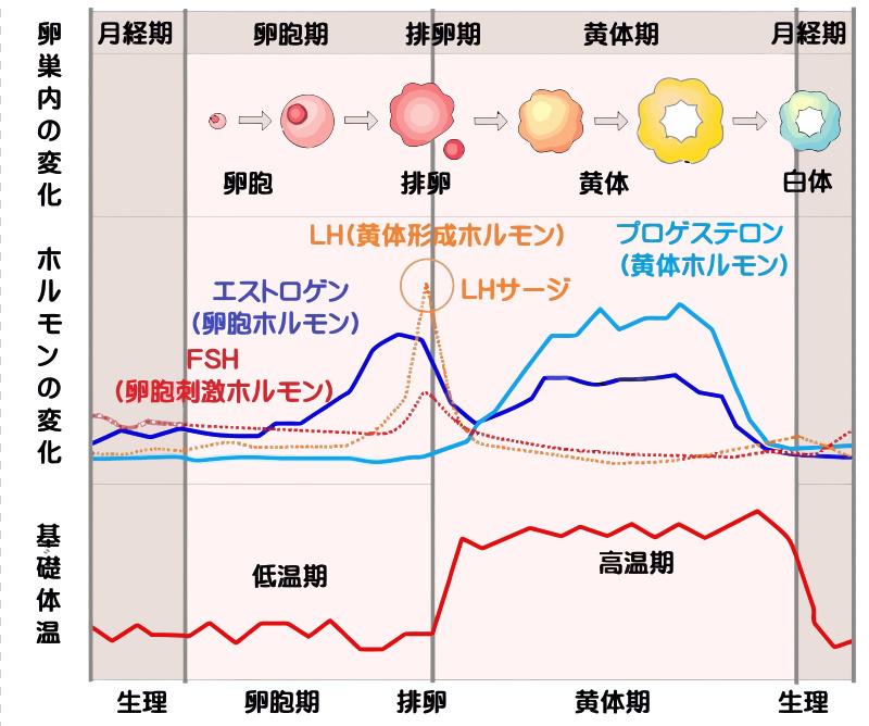 基礎体温と女性ホルモン